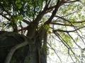 El espíritu del mamo o líder se condensa después de la muerte en la piedra y el árbol para seguir protegiendo a la naturaleza